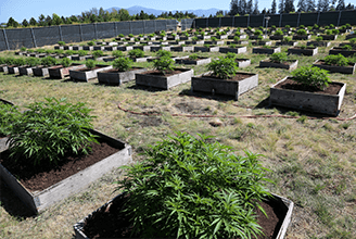 Medical Benefits of Marijuana   My Pure Canna   Online Dispensary