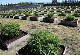Medical Benefits of Marijuana | My Pure Canna | Online Dispensary