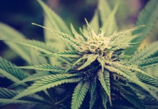 What Are The Strongest Cannabis Strains